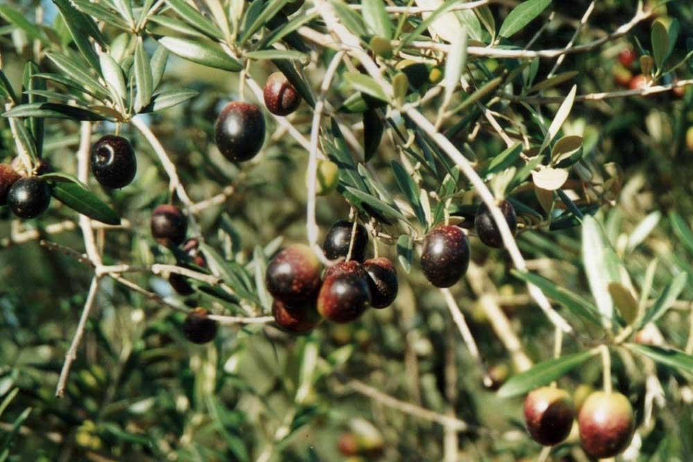Black Olives, Hunter Valley