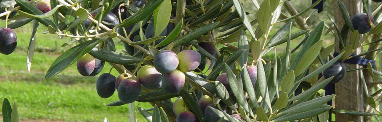Hunter Olive Association