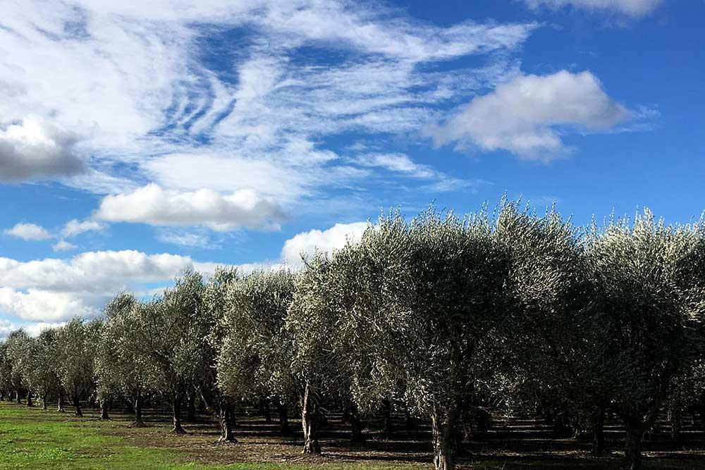 Pukara Estate, Hunter Valley Olives