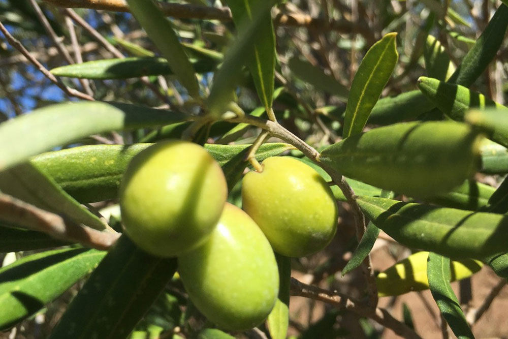2017 Olive Harvest has started in the Hunter Valley