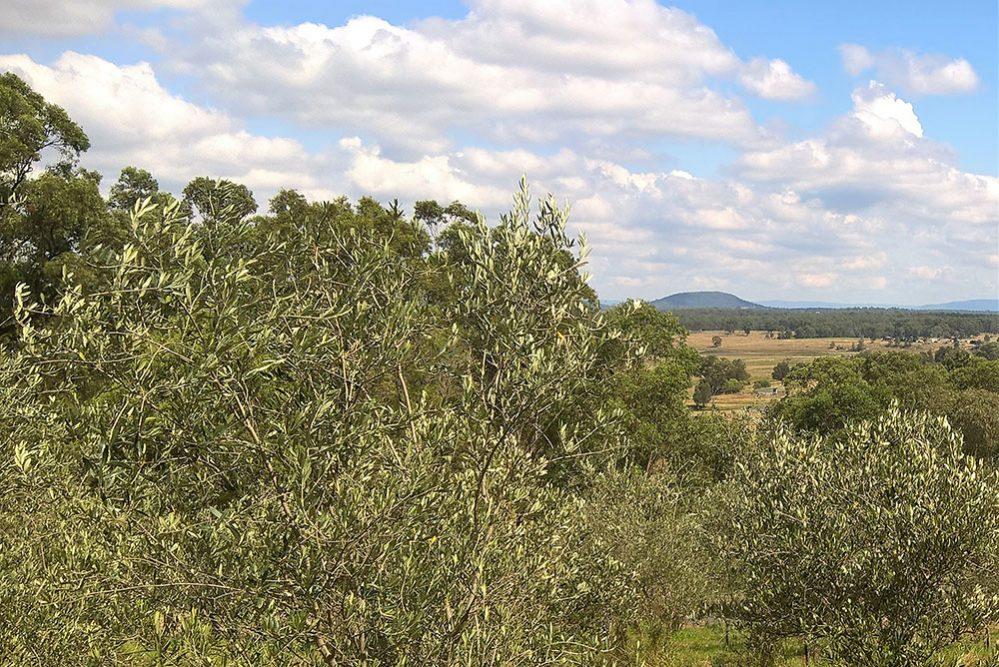 The Olive Grove Buchanan